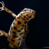 Triton ponctuÈ Classe : Amphibia Ordre : Urodela EspËce : Triturus vulgaris Sexe : M'le Vue de dessous, en phase aquatique, nageant, vue du ventre