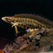 Triton ponctuÈ Classe : Amphibia Ordre : Urodela EspËce : Triturus vulgaris Sexe : M'le Vue de profil, en phase aquatique, posÈ au fond de la mare