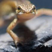 Femelle de triton palmÈ, vue de face, en phase aquatique, posÈe sur une roche. Classe : Amphibia Ordre : Urodela EspËce : Triturus helveticus Sexe : Femelle