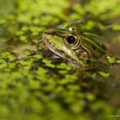 Gros plan sur la tÍte d'une grenouille verte, Èmergeant au milieu des lentilles d'eau. Classe : Amphibia Ordre : Anura Famille : Ranidae EspËce : Rana lessonae ou Rana esculenta