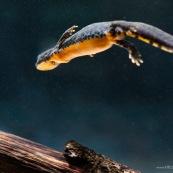 Triton alpestre Classe : Amphibia Ordre : Urodela EspËce : Ichthyosaura alpestris Sexe : Femelle Triton alpestre en plongeon sous l'eau, vue de dessous et de son ventre orange vif.