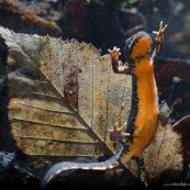 Triton alpestre Classe : Amphibia Ordre : Urodela EspËce : Ichthyosaura alpestris Sexe : Femelle Triton alpestre en phase aquatique, vue de sa face ventrale orange vif, en train de tenter de remonter ‡ la surface.