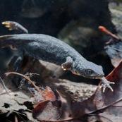 Triton alpestre Classe : Amphibia Ordre : Urodela EspËce : Ichthyosaura alpestris Sexe : Femelle Triton alpestre en phase aquatique, nageant sur fond de feuilles mortes.