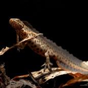Triton ponctuÈ Classe : Amphibia Ordre : Urodela EspËce : Triturus vulgaris Sexe : Male Phase aquatique, vu de trois quart avant.