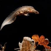 Triton ponctuÈ Classe : Amphibia Ordre : Urodela EspËce : Triturus vulgaris Sexe : Male Phase aquatique, vu de profil