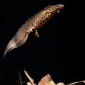 Triton ponctuÈ Classe : Amphibia Ordre : Urodela EspËce : Triturus vulgaris Sexe : Male Phase aquatique, en train de remonter vers la surface.