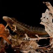 Triton ponctuÈ Classe : Amphibia Ordre : Urodela EspËce : Triturus vulgaris Sexe : Male Phase aquatique, posÈ sur des feuilles mortes
