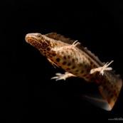 Triton ponctuÈ Classe : Amphibia Ordre : Urodela EspËce : Triturus vulgaris Sexe : Male Phase aquatique, en train de nager, seul sur fond noir, vue de trois quart avant.