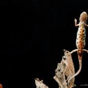Triton ponctuÈ Classe : Amphibia Ordre : Urodela EspËce : Triturus vulgaris Sexe : Male Phase aquatique, vu de dessous, face ventrale bien visible, en train de reponter respirer ‡ la surface.