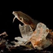 Triton ponctuÈ Classe : Amphibia Ordre : Urodela EspËce : Triturus vulgaris Sexe : Male Phase aquatique, vu de face, ‡ moitiÈ posÈ sur le fond.