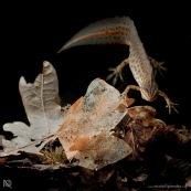 Triton ponctuÈ Classe : Amphibia Ordre : Urodela EspËce : Triturus vulgaris Sexe : Male Phase aquatique, vu de face et dessus, une patte posÈe sur une feuille.