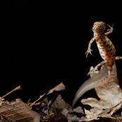 Triton ponctuÈ Classe : Amphibia Ordre : Urodela EspËce : Triturus vulgaris Sexe : Male Phase aquatique, vu de dessous et de face, face ventrale bien visible, en train de nager.
