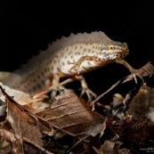 Triton ponctuÈ Classe : Amphibia Ordre : Urodela EspËce : Triturus vulgaris Sexe : Male Phase aquatique, vu de face, posÈ sur le fond (feuilles mortes).