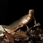 Triton ponctuÈ Classe : Amphibia Ordre : Urodela EspËce : Triturus vulgaris Sexe : Male Phase aquatique, vu de face, posÈ sur le fond.
