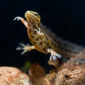 Triton ponctuÈ Classe : Amphibia Ordre : Urodela EspËce : Triturus vulgaris Sexe : M'le Vue de face, vue sur le ventre er les pasttes, phase aquatique, fond de mare