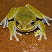 Grenouille (Hypsiboas marianitae) vue de face.