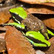 Ameerega trivittata. Grenouille verte et noire, transportant ses tetards sur son dos.