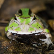 Ceratophrys cornuta. Crapaud à cornes, vert.