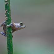 Petite grenouille.