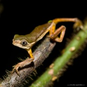 Phyllomedusa grenouille singe