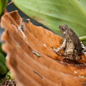 Terrarium de laboratoire avec un couple de grenouilles (Engystomops petersi). Vu de dedans.