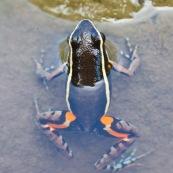 Grenouille vue de dessus, a demie immergé dans l'eau, noire,orange, bleue et jaune.