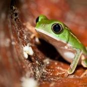 Phyllomedusa vaillanti. White-lined Monkey Frog. Grenouille singe, arboricole. Spécimen vert juvénil, sur une feuille rouge orangée. Ligne blanche bien visible. Amphibien. Amphibia. Anoura.