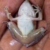 Ventre de grenouille.