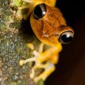 Hypsiboas fasciatus