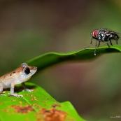 Petite grenouille et grosse mouche