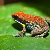 Ameerega bilinguis. Dendrobate. Rouge, bleu et jaune. Grenouille colorée. Vue de profil, sur une feuille.