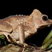 Rhinella dapsilis. Crapaud vu de profil. Crapaud avec des excroissances sur la tête (cornes)