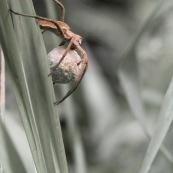 Araignée avec son cocon.