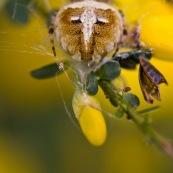 Epeire de velours Classe : Arachnidae Ordre : Araneae Famille : Araneidae EspËce : Agalenatea redii  AraignÈe vue de dessus, reprÈsentant un visage de fÈlin, ou un masque africain suspendu sur un arbuste. Trompe l'oeil. MimÈtisme animal. sur fond jaune.