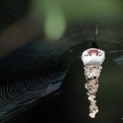 Araignée dans sa coquille