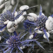 Escargors sur fleur de chardon