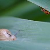 Petit escargot des milieux humides : Succinea putris (Ambrette commune). Vue de face, rampant sur une herbe des marais, en compagnie d'un petit colÈoptËre.   Classe : Gastropoda Ordre : Stylommatophora Famille : Succineidae EspËce : Succinea putris
