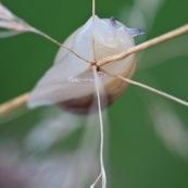 Petit escargot des milieux humides : Succinea putris (Ambrette commune). Vue de dessous, rampant sur une tige de graminÈe.   Classe : Gastropoda Ordre : Stylommatophora Famille : Succineidae EspËce : Succinea putris