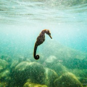 hippocampe guadeloupe prise de vue sous-marine du coté de basse-terre. Hippocampe long-nez (Hippocampus reidi) ou Hippocampe du Nord (Hippocampus erectus).