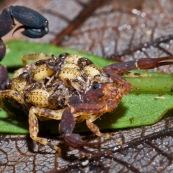 Scorpion avec ses petits sur son dos