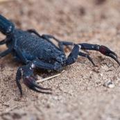 Scorpion.