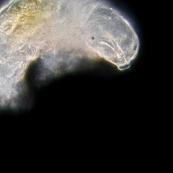 Tardigrade (au microscope)