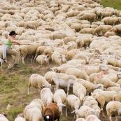 BergËre dans la montagne, avec son  chien de berger, attrapant les brebis blessÈes pour les soigner, au milieu du troupeau.