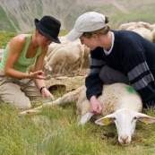 Brebis en premier plan, dans la montagne, en train de de se faire soigner par deux bergËres (berger). Application d'argile pour soigner la plaie et la faire cautÈriser.  En arriËre plan le troupeau.