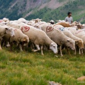 Troupeau de brebis partant ‡ l'assaut des verts paturages de la montagne, avec le berger en arriËre plan. Brebis qui broutent.