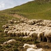 """Deux """"patous"""" (chiens protÈgeant les troupeaux de brebis) en train de dormir a cotÈ du troupeau, pendant que les brebis s'arrÍtent pour finir de brouter puis chaumer, dans les alpages alpins.  Le patou (Le Montagne des PyrÈnÈes, chien de berger) protËge le troupeau."""
