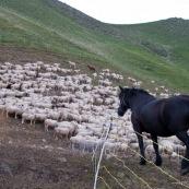 Berger en train de refermer l'enclos autour du troupeau de brebis, le soir, aprËs le retour ‡ la cabane de berger. Le cheval servant principalement à ravitailler, observe le remue-mÈnage. En pleine montagne dans les Alpes.