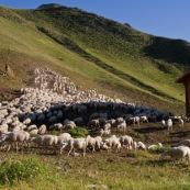 Cabane de berger au petit matin, le troupeau de brebis est sur le dÈpart pour rejoindre les paturages, en pleine montagne dans les Alpes.