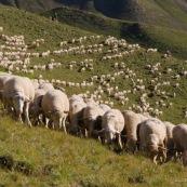 Troupeau de brebis, vue de devant, en premiËre ligne, a l'assaut des montagnes et des paturages (Alpes). Le berger est en arriËre plan. Le troupeau forme une premiËre rangÈe alignÈe, derriËre les brebis sont alignÈes dans les crails.