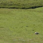 Dans un paturage en montagne, brebis morte abandonnÈe Ètendue ‡ terre. Le troupeau et le berger sont partis.